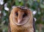 猴面鹰是怎样的一种生物