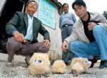 图文:老汉夜救猴面鹰(1)