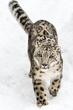 雪豹!雪中……_来自lee姑娘的图片分享-堆糖