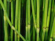 """节节草""""煮水喝,治好了多年的气管炎,哮喘病! - 周公乐 - xinhua8848 的博客"""