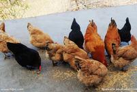 鸡年说鸡 - 霁日风光 - wxm46720 的博客